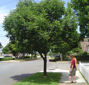 what is a street tree